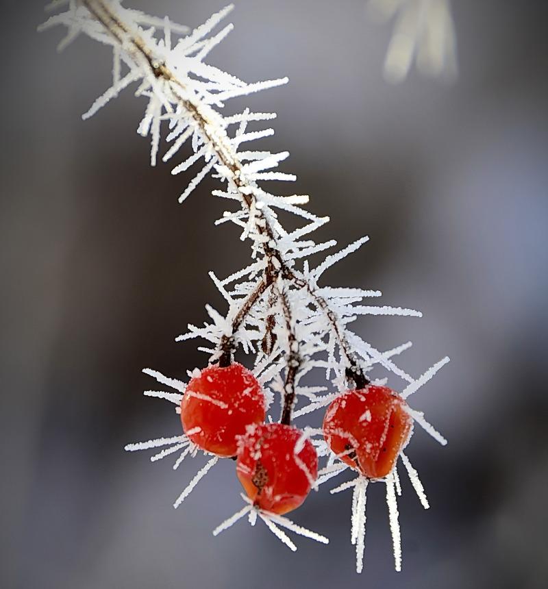 frozen-viburnum-berry.jpg