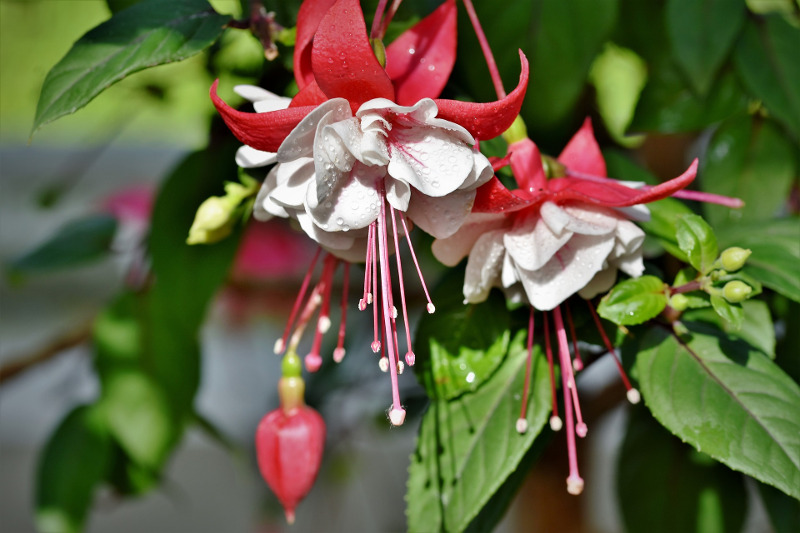 fuchsia-foliage-and-flowers-with-water-on-it.jpg