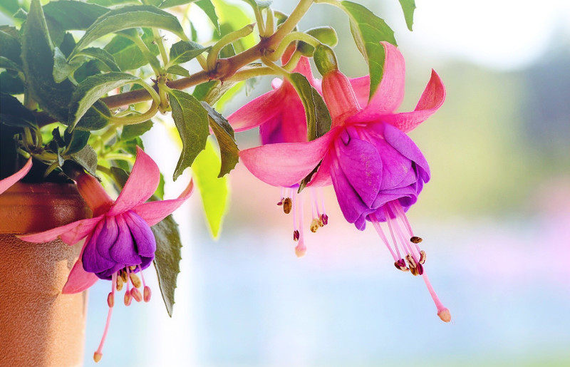 fuchsia-plant-blooming-in-garden-planter.jpg