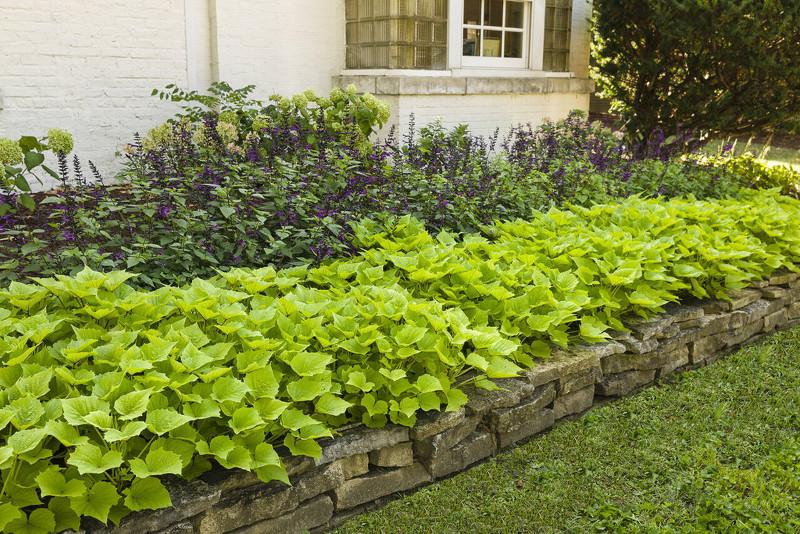 garden-border-row-of-sweet-potato-vines.jpg