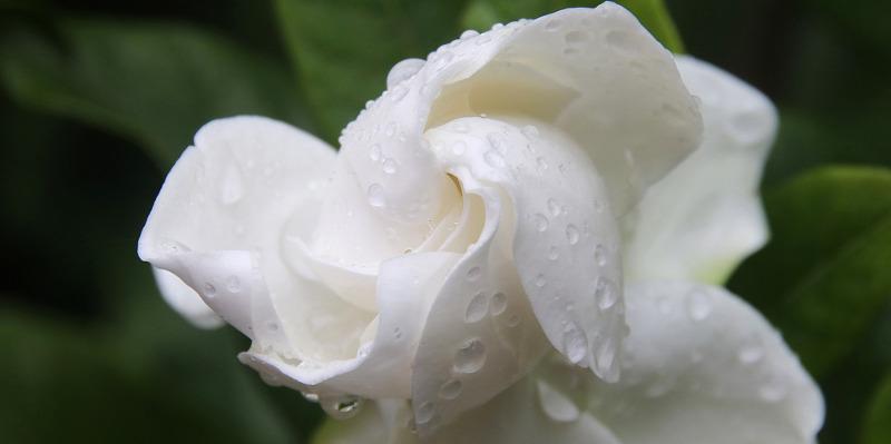 gardenia-bloom-after-being-watered.jpg