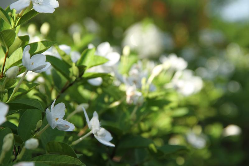 gardenia-growing-in-the-sunlight.jpg