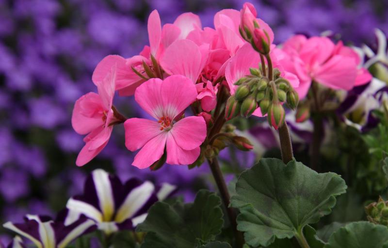 geranium-blooms-and-flower-buds-up-close.jpg