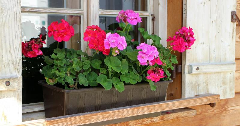 geraniums-in-window-planter-box.jpg