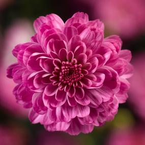Gigi Dark Pink Garden Mum