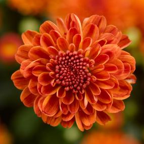 Gigi Orange Garden Mum
