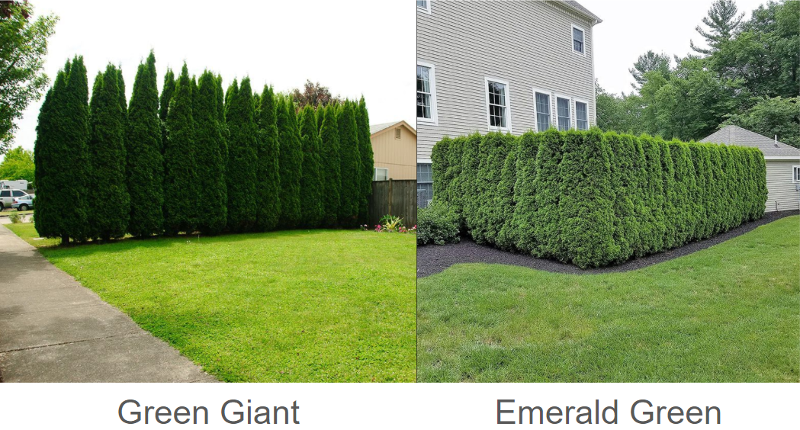green-giant-and-emerald-green-arborvitae-comparison-1.png