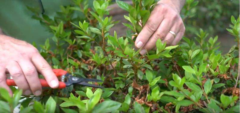 hand-pruning-azalea-shrubs.png