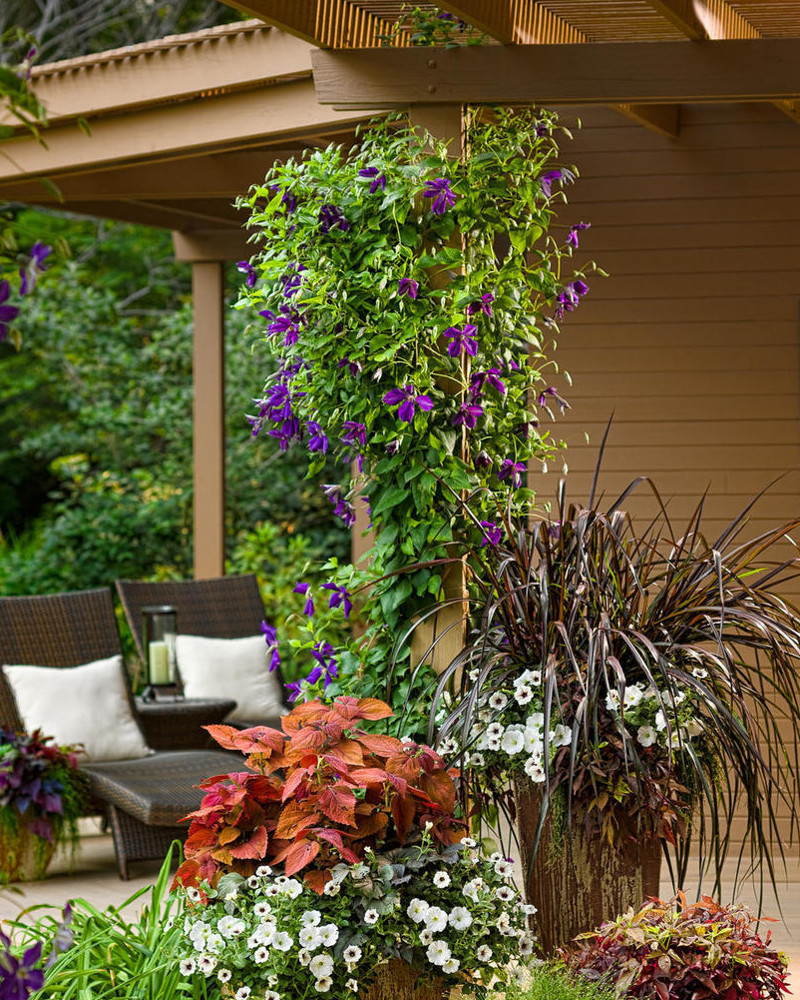 happy-jack-purple-clematis-vine-in-landscaping-30514.1551323883.jpg