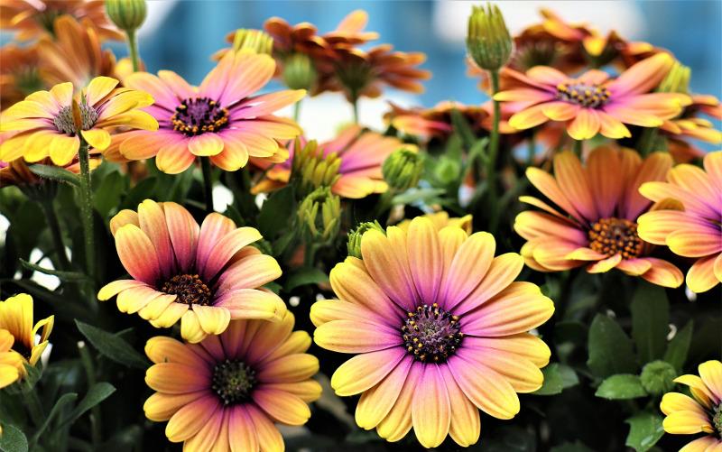 healthy-african-daisy-plants.jpg