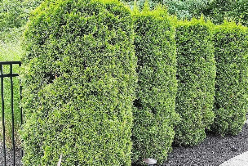 healthy-arborvitae-hedge.jpg