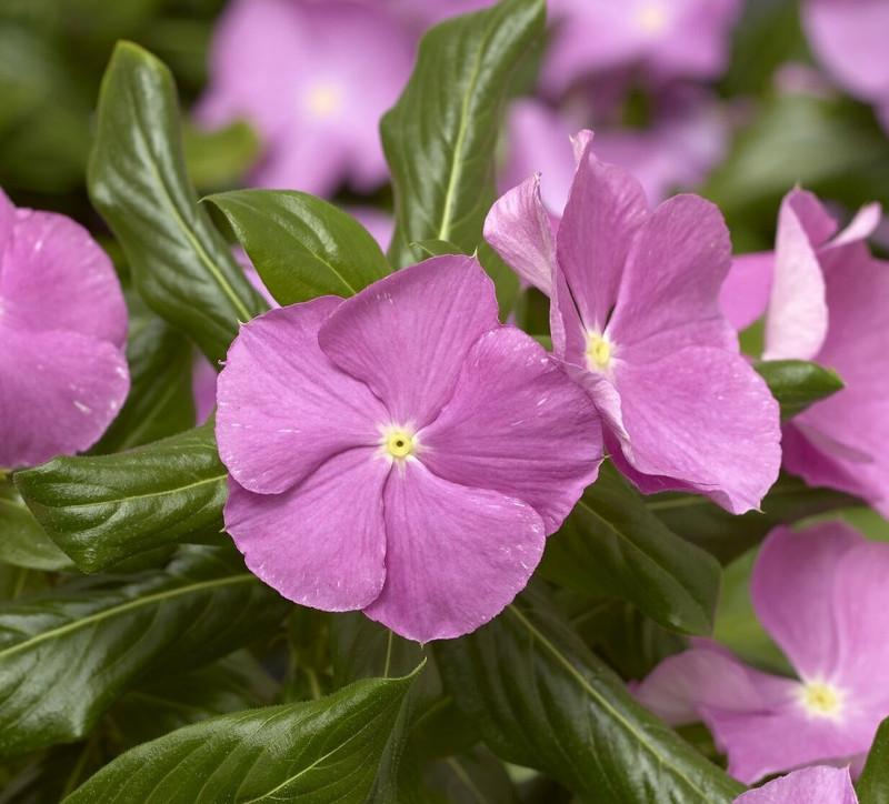 healthy-blooming-vinca-plant.jpg