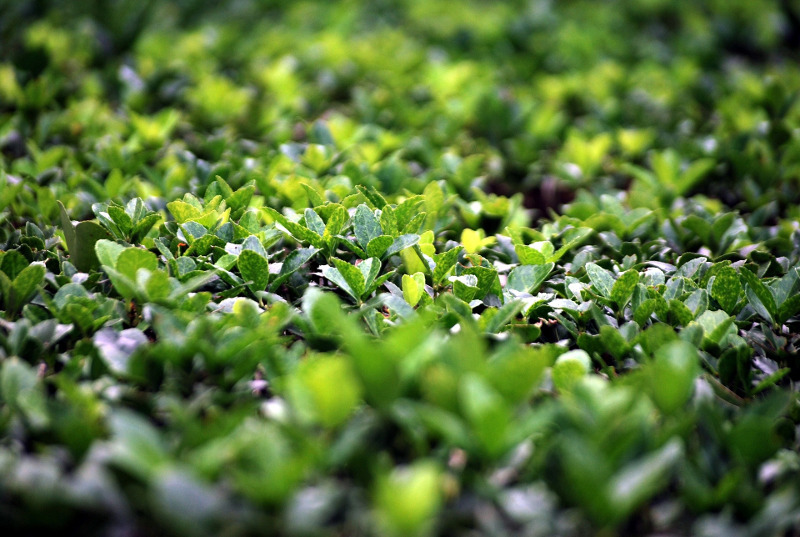 healthy-boxwood-leaves-and-foliage.jpg