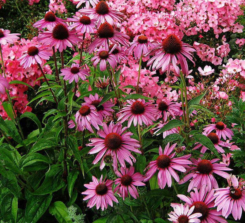 healthy-coneflower-plants-after-fertilizer.jpg