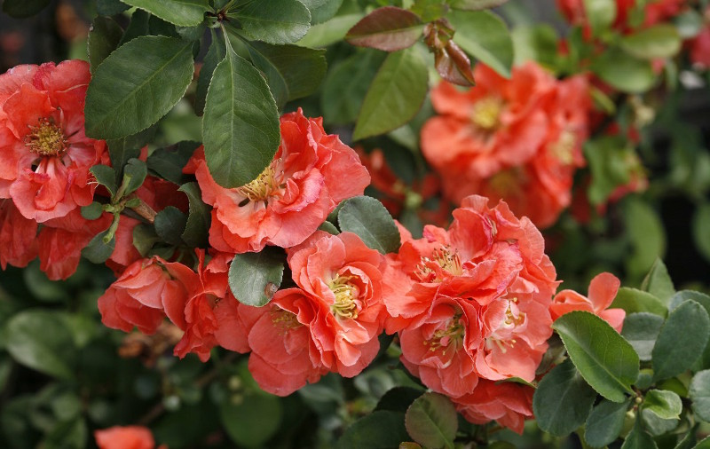 healthy-flowering-quince-shrub-blooming.jpg