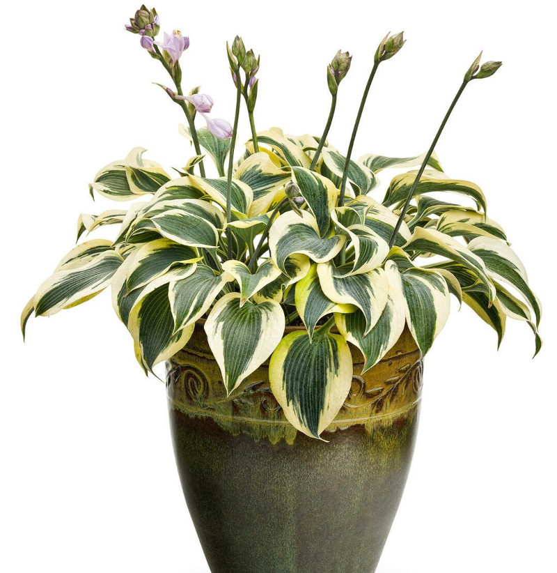 healthy-hosta-plant-blooming-in-a-garden-planter.jpg