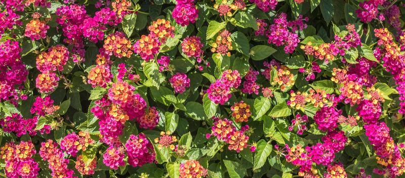 healthy-lantana-plants-blooming.jpg