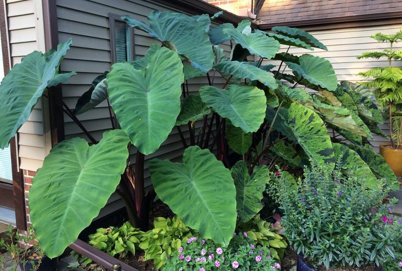 healthy-large-elephant-ear-plants-next-to-the-house.jpg