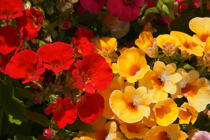 healthy-nemesia-plants-blooms.jpg
