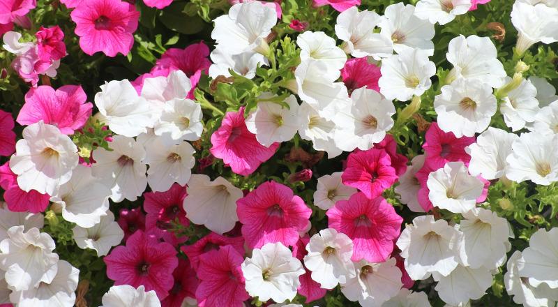 healthy-petunia-plants-blooming.jpg