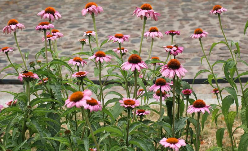 healthy-purple-coneflower-plants.jpg