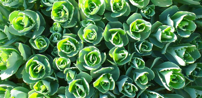 healthy-sedum-plants-foliage.jpg
