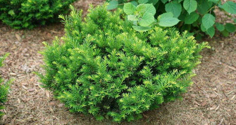 healthy-yew-shrub.jpg