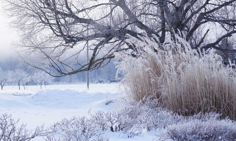 heavy-frost-on-pampas-grass-in-winter.jpg