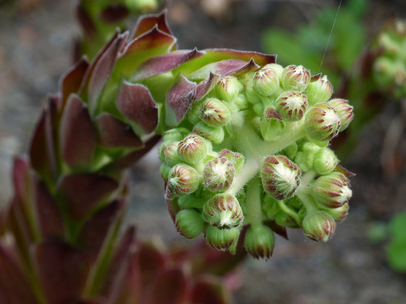 hens-and-chicks-flower-head-up-close.jpg