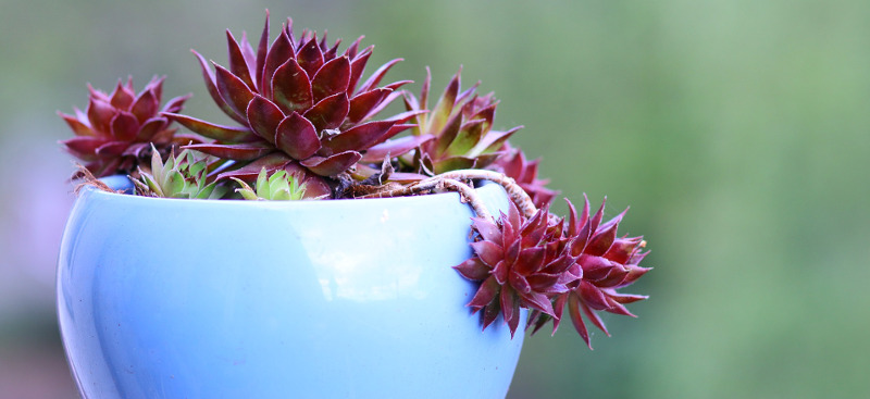 hens-and-chicks-growing-indoors.jpg