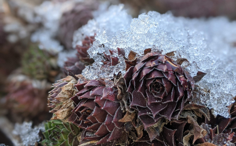 hens-and-chicks-in-winter.jpg
