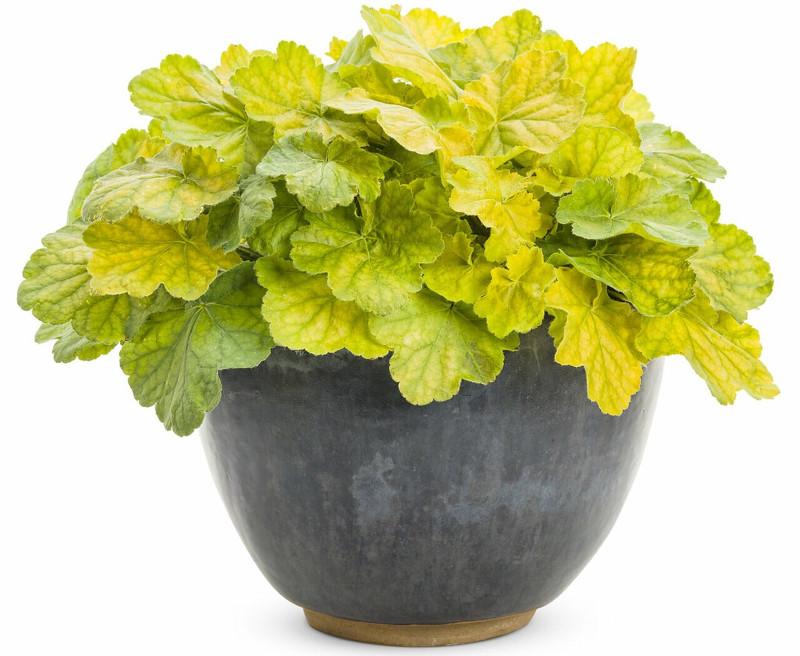 heuchera-growing-in-planter.jpg
