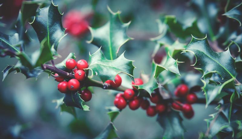 holly-leaves-and-berries.jpg