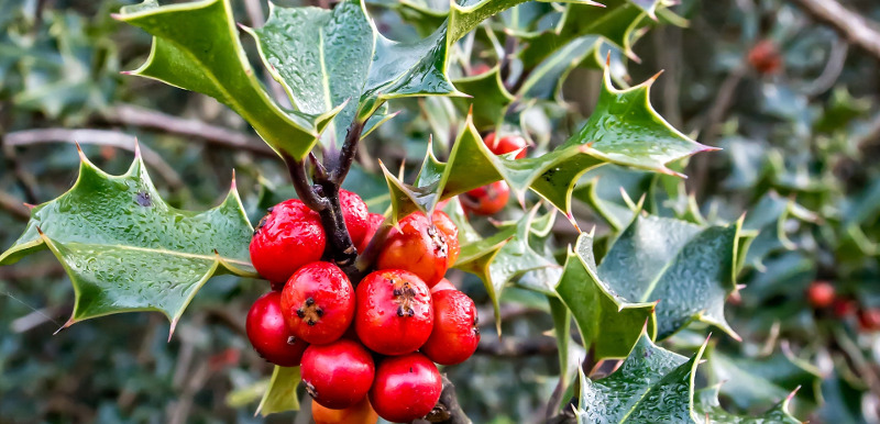 holly-shrub-berries-and-leaves.jpg