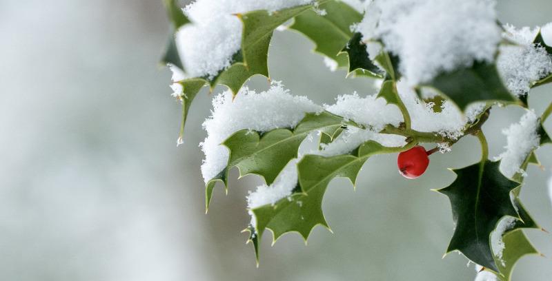 holly-shrub-in-the-snow.jpg
