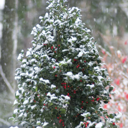 holly-shrub-in-winter.png