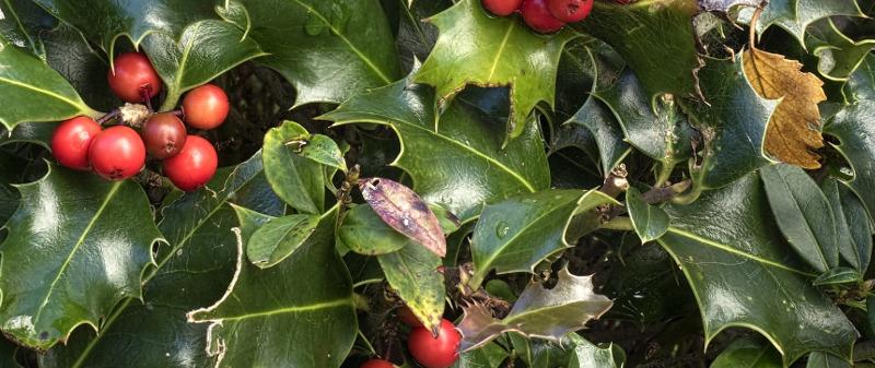 holly-shrub-with-dead-leaves.jpg