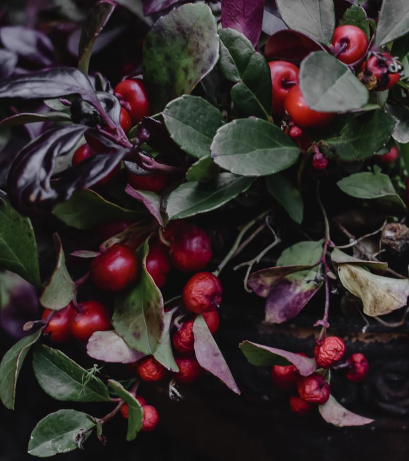 holly-shrub-with-sick-leaves.jpg