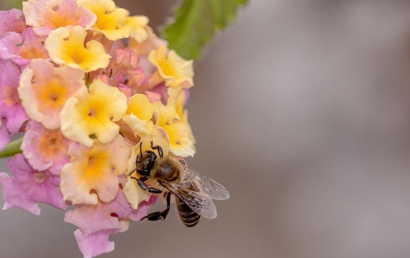 honey-bee-on-verbena-flower.jpg
