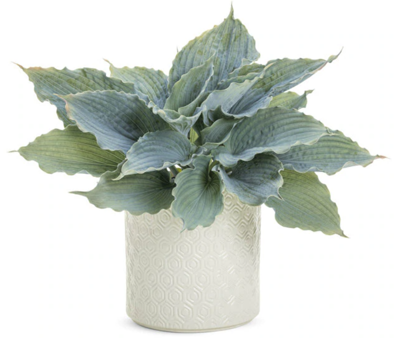 hosta-grown-indoors-as-a-houseplant.png