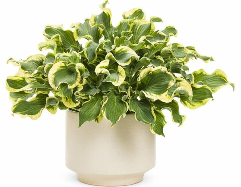 hosta-in-decorative-pot.jpg