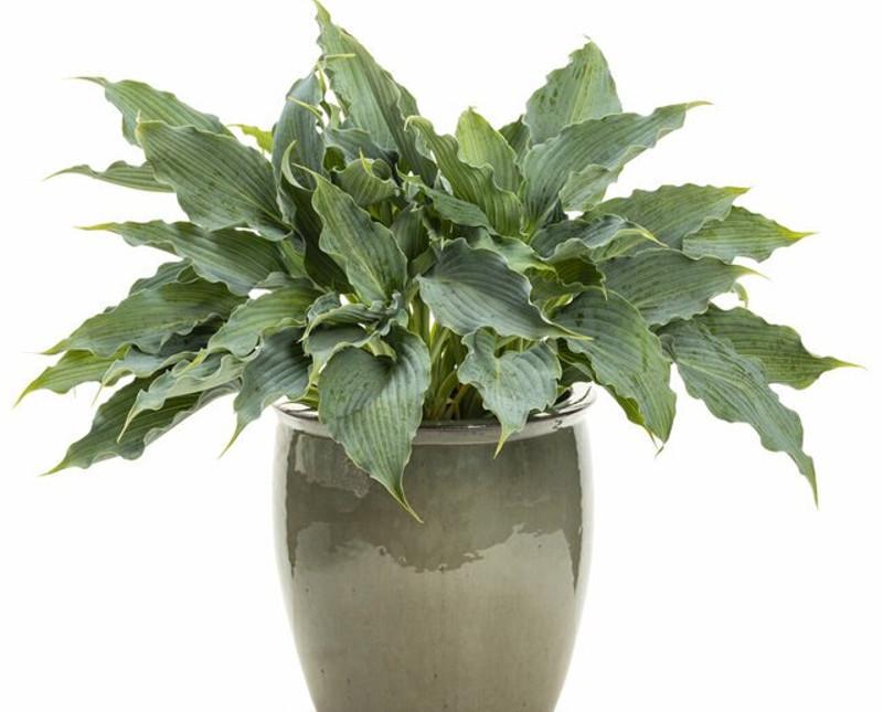 hosta-in-plant-container.jpg