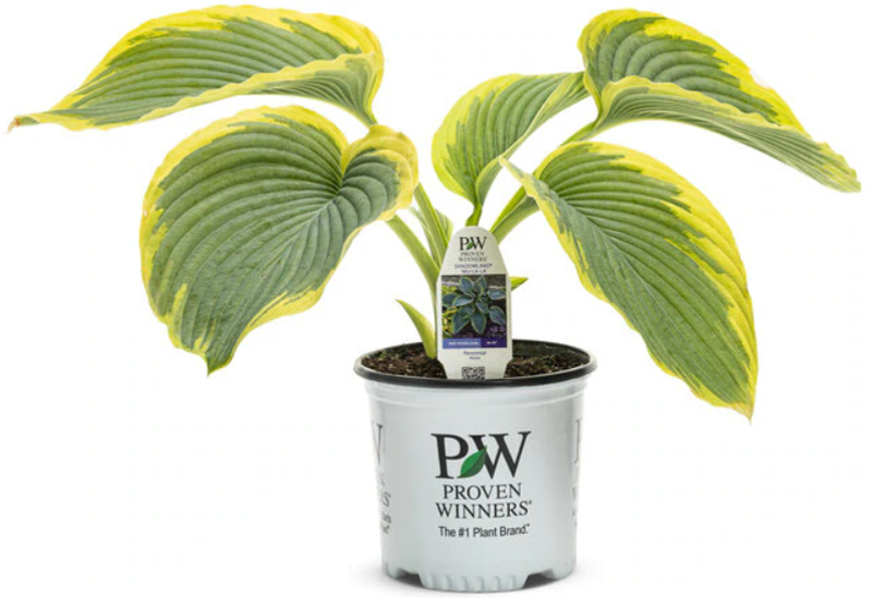 hosta-in-proven-winners-pot-ready-to-be-transplanted.png