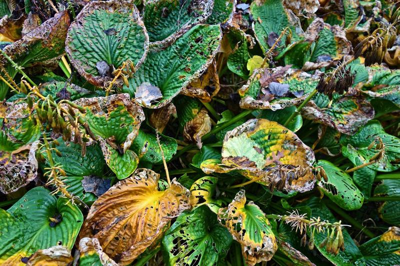 hosta-plant-dying.jpg