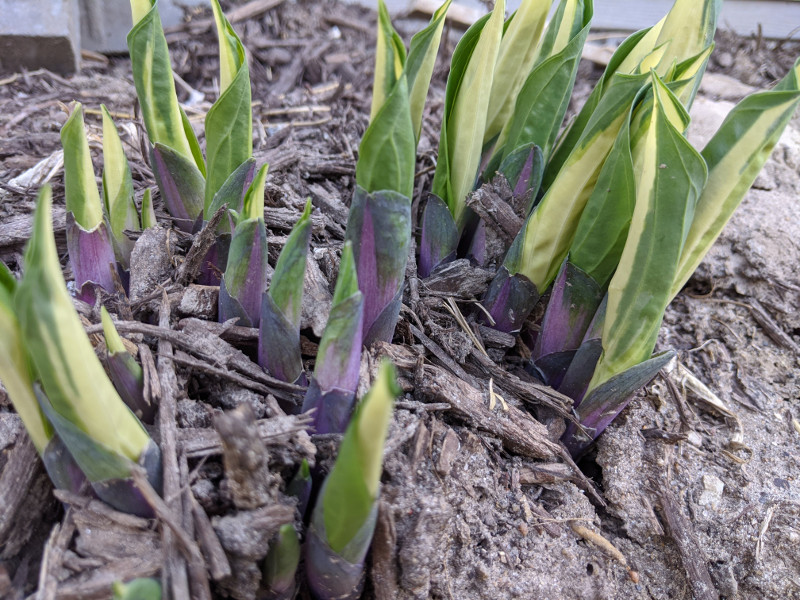 hosta-shoots-coming-out-of-the-ground.jpg