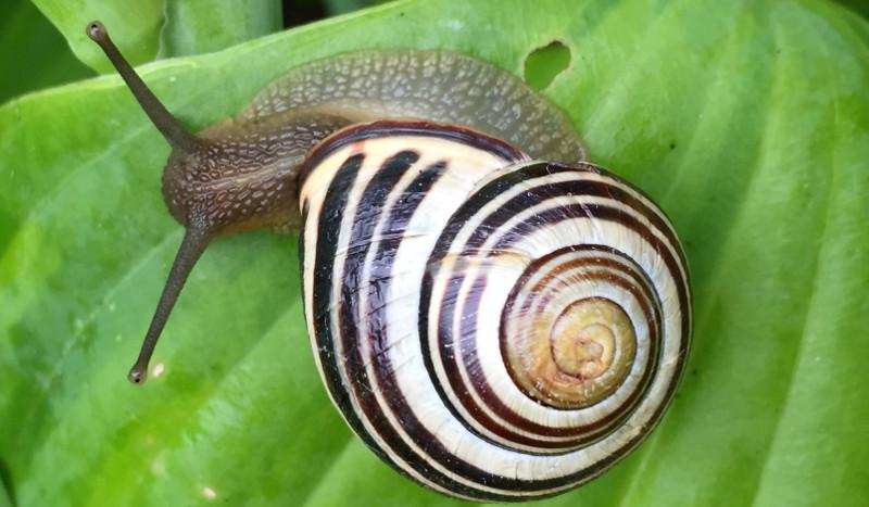 hosta-with-slug-eating-the-leaf.jpg