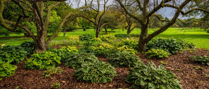 hostas-growing-under-trees.jpg