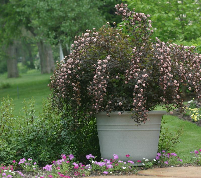 huge-ninebark-shrub-in-garden-planter-blooming.jpg