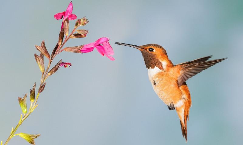 hummingbird-mint.jpg