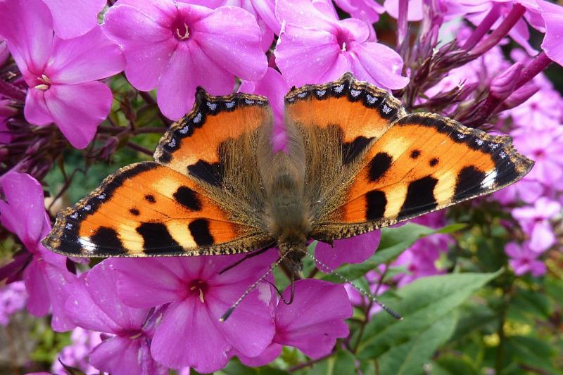 hummingbird-moth-on-phlox-flowers.jpg